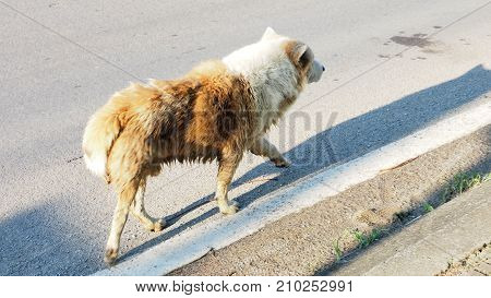 Arctic wolf mix street dog brown and white color walking on the road alone in Bangbuathong Thailand Has copy space Photo speed shutter focus select at center of image.