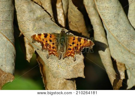 Comma butterfly (Polygonia c-album) sunning itself in the evening light on brown dead and curled leaves in spring.