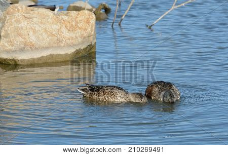 Northern Shoveler duck hen and drake in molting plumage swimming and eating together