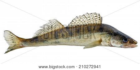 Freshwater Raw Fish
