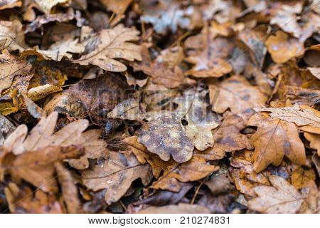 Earth Is Covered With Colorful Leaves Of Oak, Hornbeam And Other Species Of Trees, Drops Of Water, A