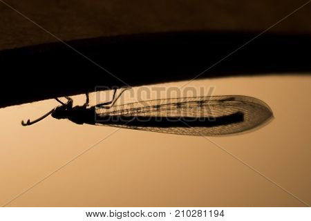 Silhouette of Lace Wing Insect Showing Tiny Detail in Wings