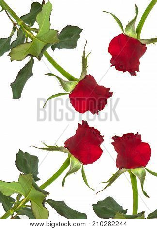 rose isolated on white background. View from the top