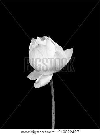 Lotus flower isolated on black background. For design