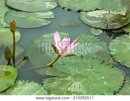 Beautiful lotus flower is the symbol of the Buddha Thailand.