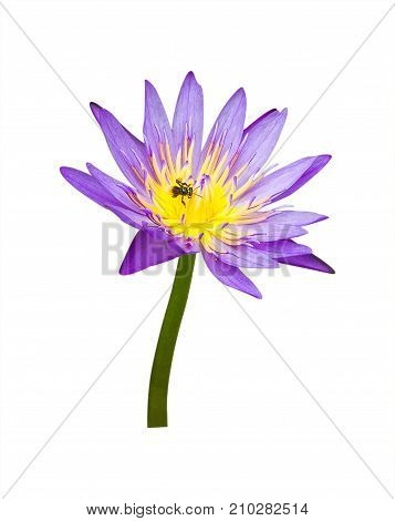 Lotus flower isolated on white background. For design