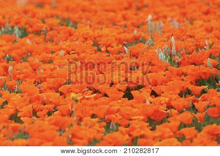 Close Up of Bright Poppy Field Shot from Low Perspective with Focal Point