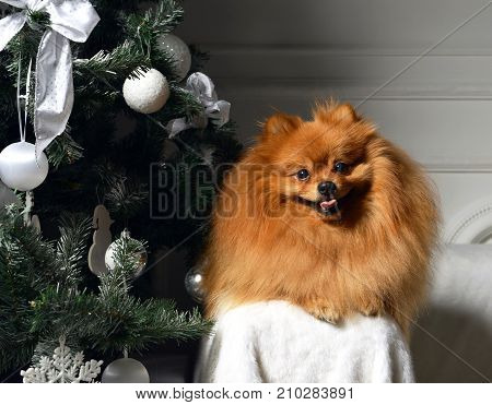Brown pomeranian dog under decorated christmas tree on dark background with text space sitting and looking at the camera
