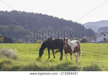 Two beautiful horses grazing on a green meadow.