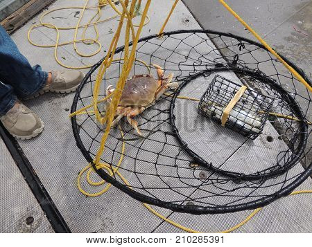 Dungeness crab caught in ring by fisherman on Oregon coast
