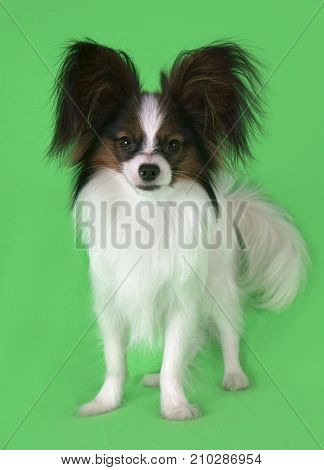 Beautiful young male dog Continental Toy Spaniel Papillon on a green background