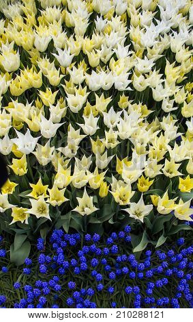 White Color Tulip Flowers In The Garden
