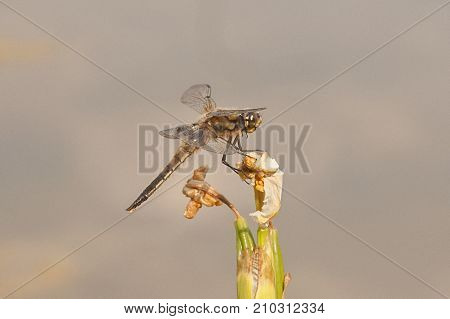 It is image of broad-bodied chaser in natuer