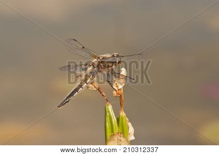 It is image of broad-bodied chaser in nature
