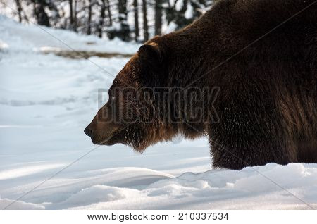 Old Brown Bear Hunting In Winter Forest
