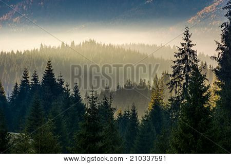 Spruce Forest On Hillside Layered In Fog