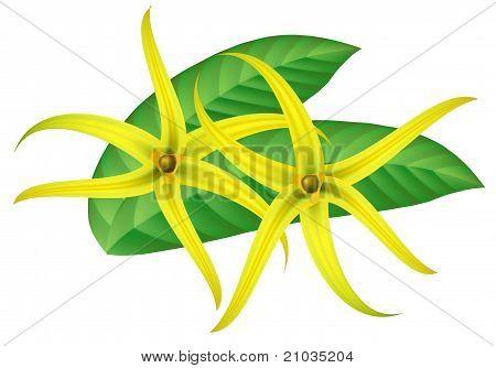 Tropical Flower - Ylang-ylang (cananga). Vector Illustration.
