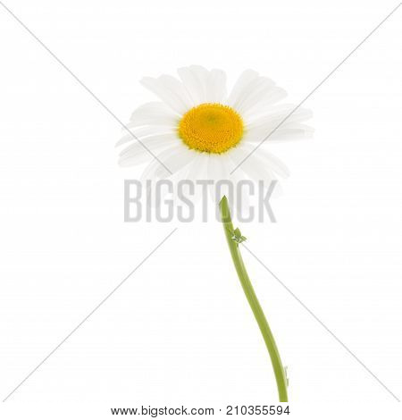 Delicate beautiful fragile chamomile flower with white petals and yellow center on white isolated background
