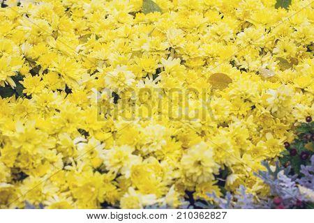 Chrysanthemums In Autumn