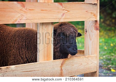 Sheep in an enclosure for animals. Eco-farm.
