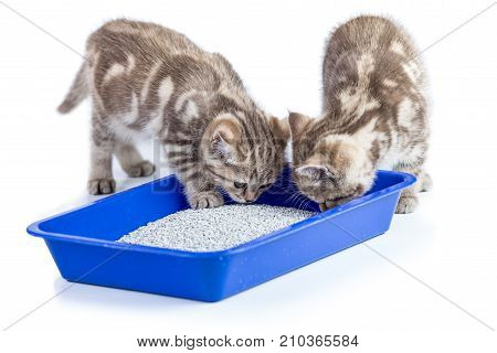 two cat kittens in toilet tray box with litter isolated on white