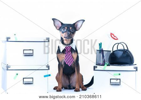 Dog office worker. A dog in a tie and a white collar in the office. Russian Toy Terrier. Director, Manager, Worker fun