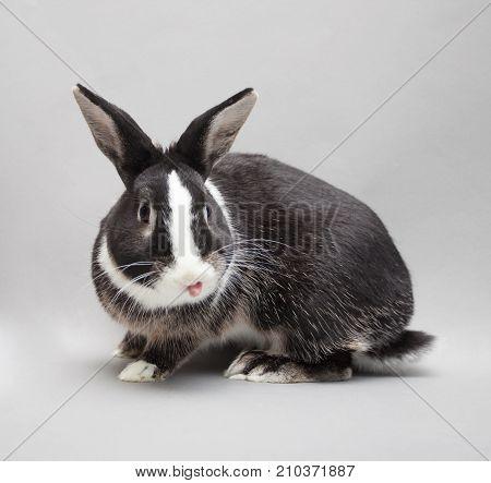 Perky baby rabbit showing his pink tongue