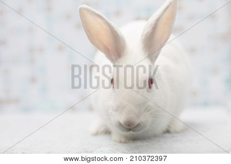 Cute Little White Rabbit At Soft Homie Background Steping Towards Us