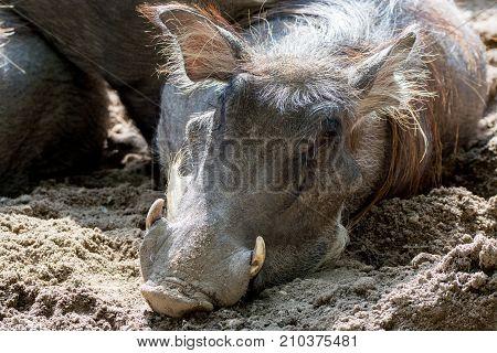 Warthog Wild Pig, Lives In Africa, Wild Animal Close Up