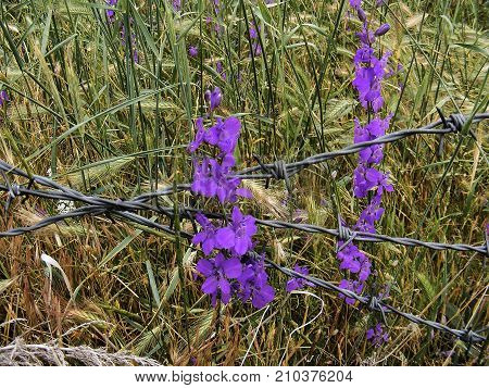 purple flowers that do not recognize obstacles despite barbed wire