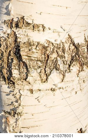 White Texture Of The Birch Bark Of A Young Tree, In Some Parts A Thin Layer Of Birch Bark Has Peeled
