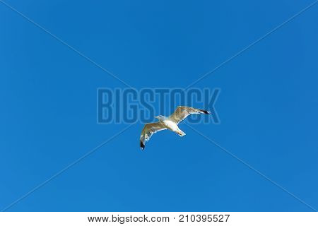 white gull hovers in the sky Seagull against a blue sky background