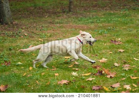 White dog golden retriever running in autumn outdoors. Retriever playing with yellow leaves