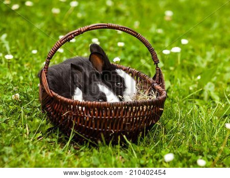 two young rabbit in a basket on a green grass background