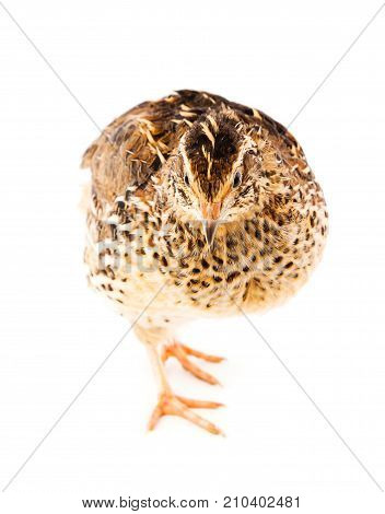 Young quail isolated on a white background