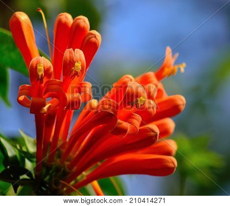Colorful orange flowers in foreground, Tecoma capensis