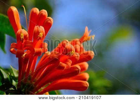 Beautiful orange flowers in full splendor, Tecoma capensis