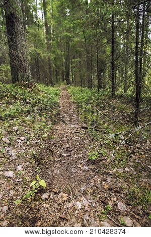 Well-trodden path goes through a pine and fir forest summer day.