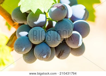 Wine Red Grape, Ripe On The Vines And Ready To Harvest And Wine Production