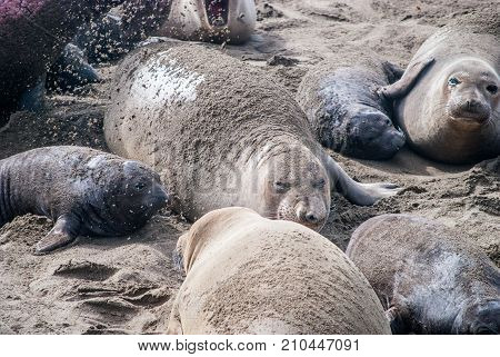Elephant seal colony in San Simeon California.