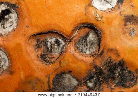 The Hideous State Of The Pumpkin, Which Began To Rot During Storage. A Few Rotten Soft Circles On Th