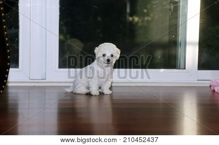 Bichon Frise. 9 week old pure breed female Bichon Frise Puppy. Puppy on the floor.