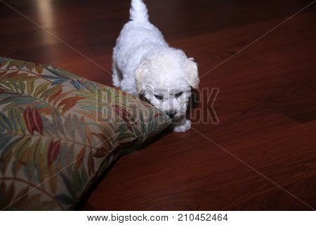 Bichon Frise. 9 week old pure breed female Bichon Frise Puppy. Puppy chews on her favorite pillow.