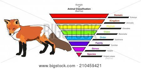 Example of Animal Classification infographic diagram showing red fox domain kingdom phylum class order family genus and species for biology and morphology science education