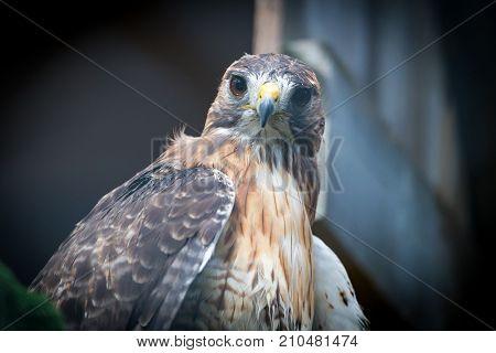 Close up a beautiful golden eagle raptor poster