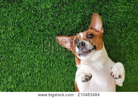 Crazy smiling dog jack russel terrier lying on green grass. Happy new year.