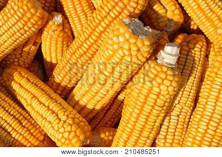 Closeup detail of many corn cobs in a basket