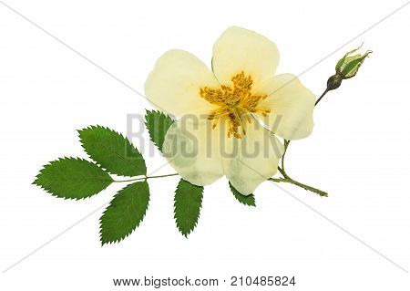 Pressed and dried a delicate transparent flower and bright green leaf rose hips. Isolated on white background. For use in scrapbooking floristry or herbarium.