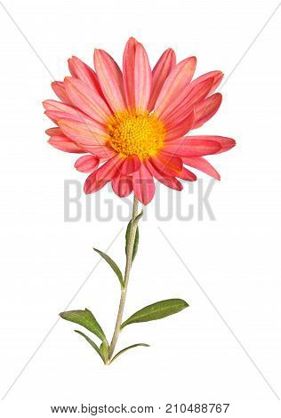 Single stem with a pink and yellow flower of the hardy chrysanthemum (Chrysanthemum rubellum) isolated against a white background