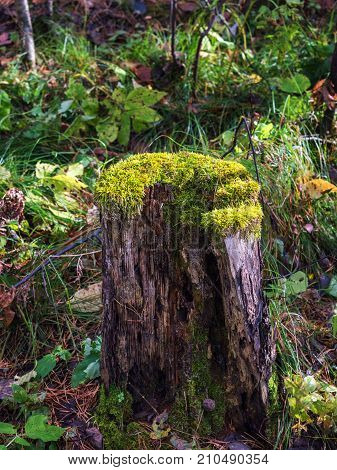 Old stump in the forest covered with moss. With large roots. Moss on stump in the forest.